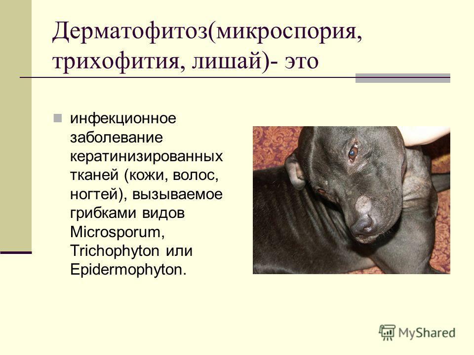 Дерматофитоз(микроспория, трихофития, лишай)- это инфекционное заболевание кератинизированных тканей (кожи, волос, ногтей), вызываемое грибками видов Microsporum, Trichophyton или Epidermophyton.