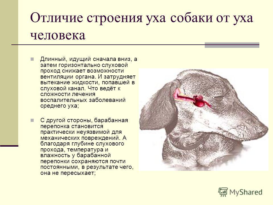Отличие строения уха собаки от уха человека Длинный, идущий сначала вниз, а затем горизонтально слуховой проход снижает возможности вентиляции органа. И затрудняет вытекание жидкости, попавшей в слуховой канал. Что ведёт к сложности лечения воспалите