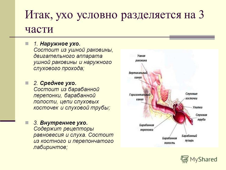 Итак, ухо условно разделяется на 3 части 1. Наружное ухо. Состоит из ушной раковины, двигательного аппарата ушной раковины и наружного слухового прохода; 2. Среднее ухо. Состоит из барабанной перепонки, барабанной полости, цепи слуховых косточек и сл