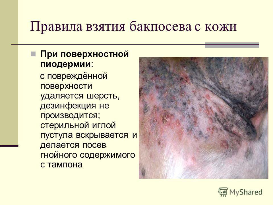 Правила взятия бакпосева с кожи При поверхностной пиодермии: с повреждённой поверхности удаляется шерсть, дезинфекция не производится; стерильной иглой пустула вскрывается и делается посев гнойного содержимого с тампона