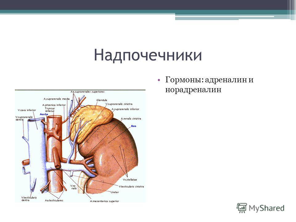 Надпочечники Гормоны: адреналин и норадреналин