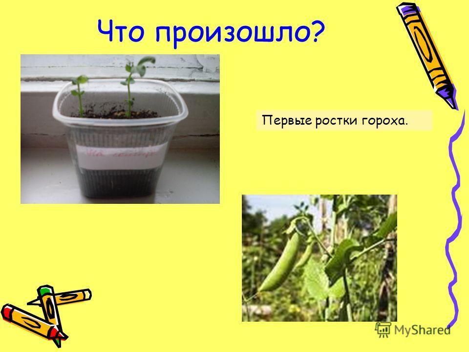 Что произошло? Первые ростки гороха.