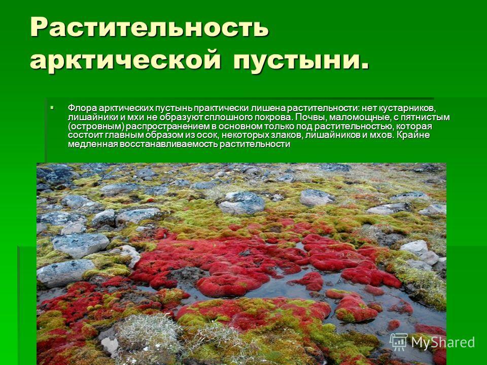 Растительность арктической пустыни. Флора арктических пустынь практически лишена растительности: нет кустарников, лишайники и мхи не образуют сплошного покрова. Почвы, маломощные, с пятнистым (островным) распространением в основном только под растите
