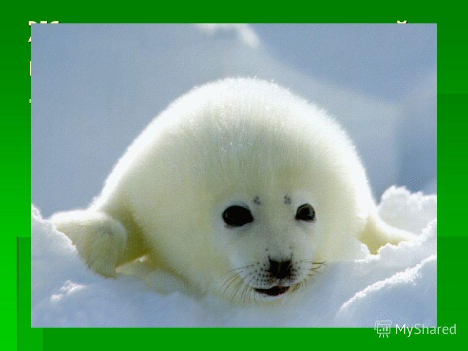 Животные арктической пустыни. Как ни странно, животные в арктической пустыне есть, правда, их там не много. Все они являются хищниками, их жизнь связана с морем. Море остывает медленнее суши, поэтому является в этом холодном краю единственным источни