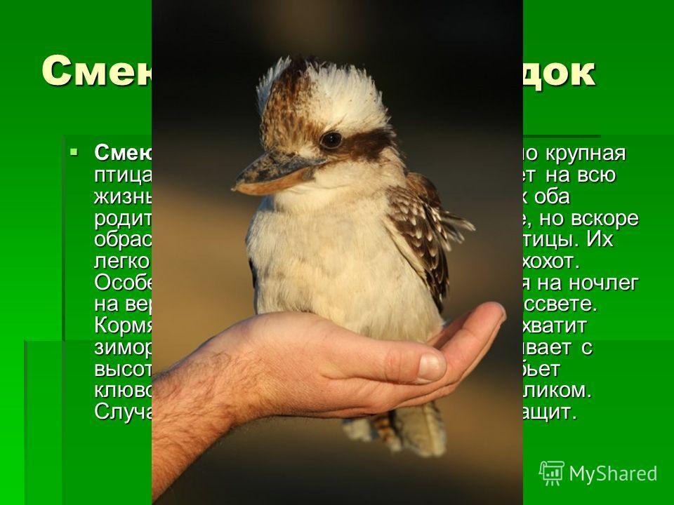 Смеющийся зимородок Смеющийся зимородок сравнительно крупная птица, длиной около 40 см. Пару образует на всю жизнь. В кладке 48 яиц, насиживают их оба родителя. Птенцы выклевываются голые, но вскоре обрастают перышками. Очень шумные птицы. Их легко р