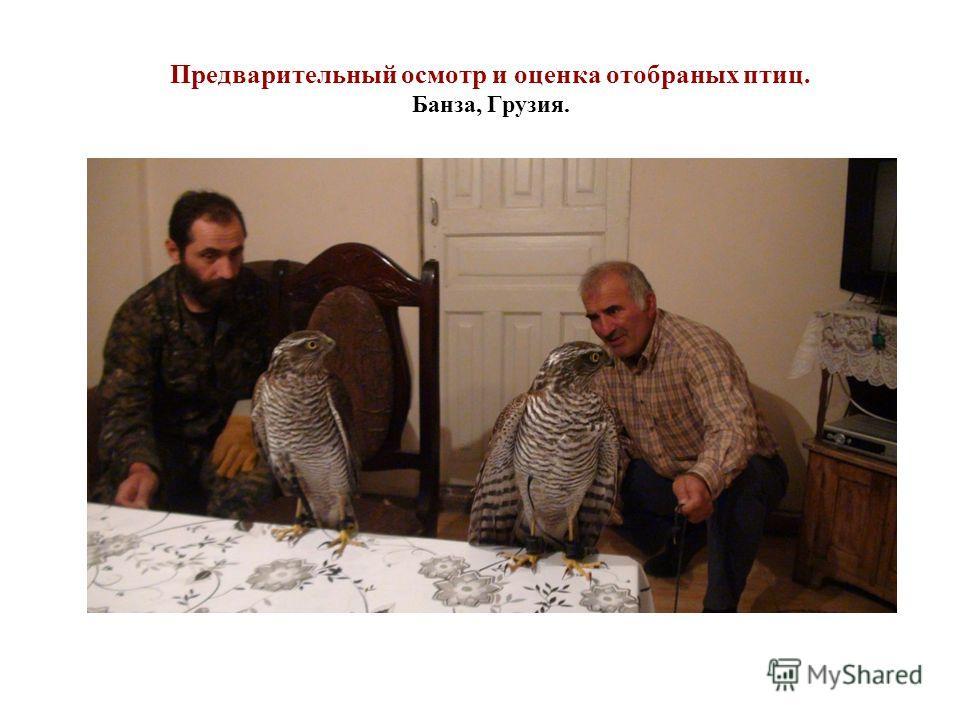 Предварительный осмотр и оценка отобраных птиц. Банза, Грузия.