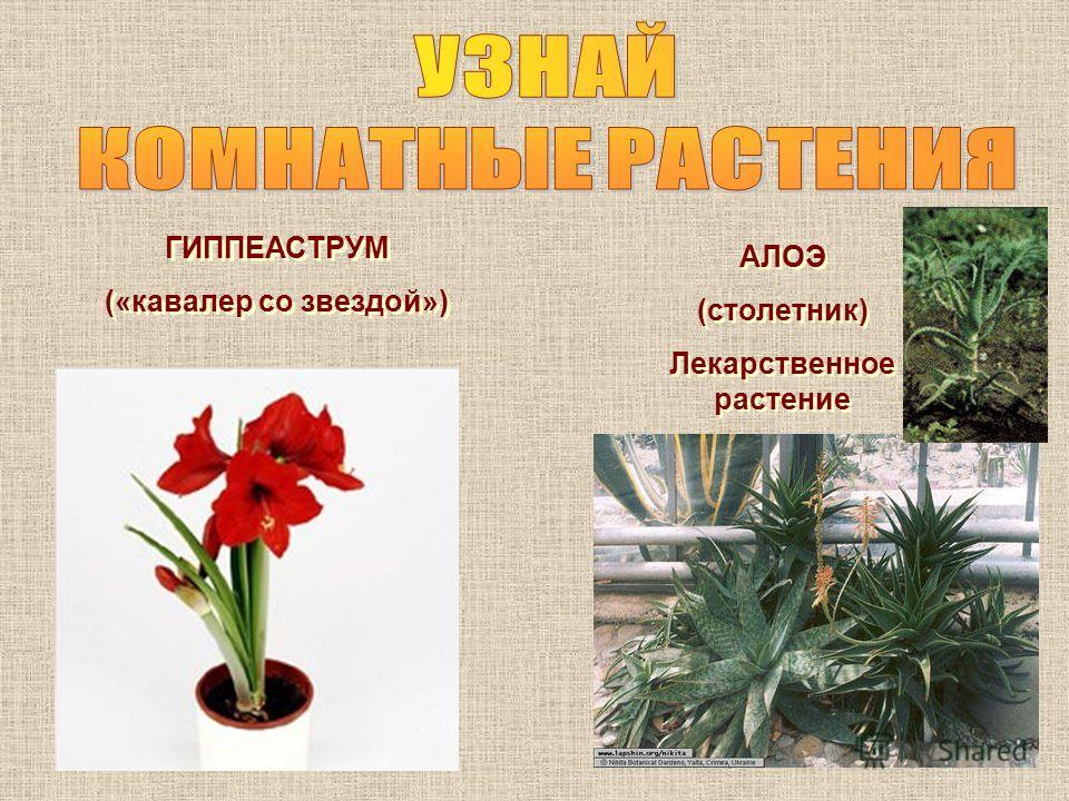 ГИППЕАСТРУМ («кавалер со звездой») ГИППЕАСТРУМ («кавалер со звездой») АЛОЭ (столетник) Лекарственное растение АЛОЭ (столетник) Лекарственное растение