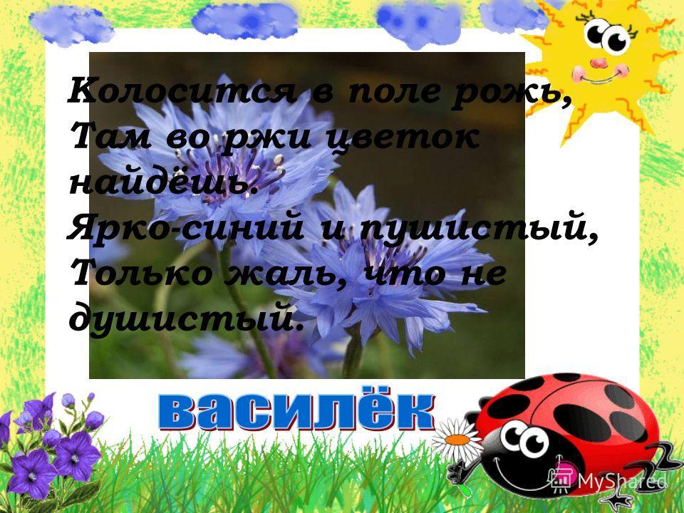 Колосится в поле рожь, Там во ржи цветок найдёшь. Ярко-синий и пушистый, Только жаль, что не душистый.