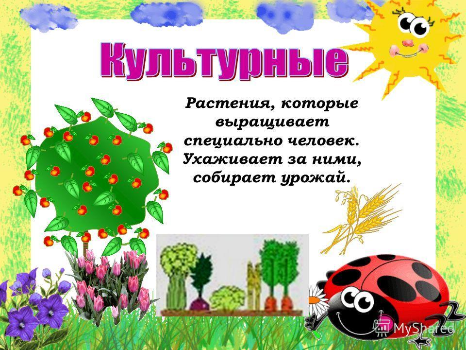 Растения, которые выращивает специально человек. Ухаживает за ними, собирает урожай.