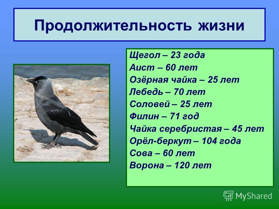 Продолжительность жизни Щегол – 23 года Аист – 60 лет Озёрная чайка – 25 лет Лебедь – 70 лет Соловей – 25 лет Филин – 71 год Чайка серебристая – 45 лет Орёл-беркут – 104 года Сова – 60 лет Ворона – 120 лет