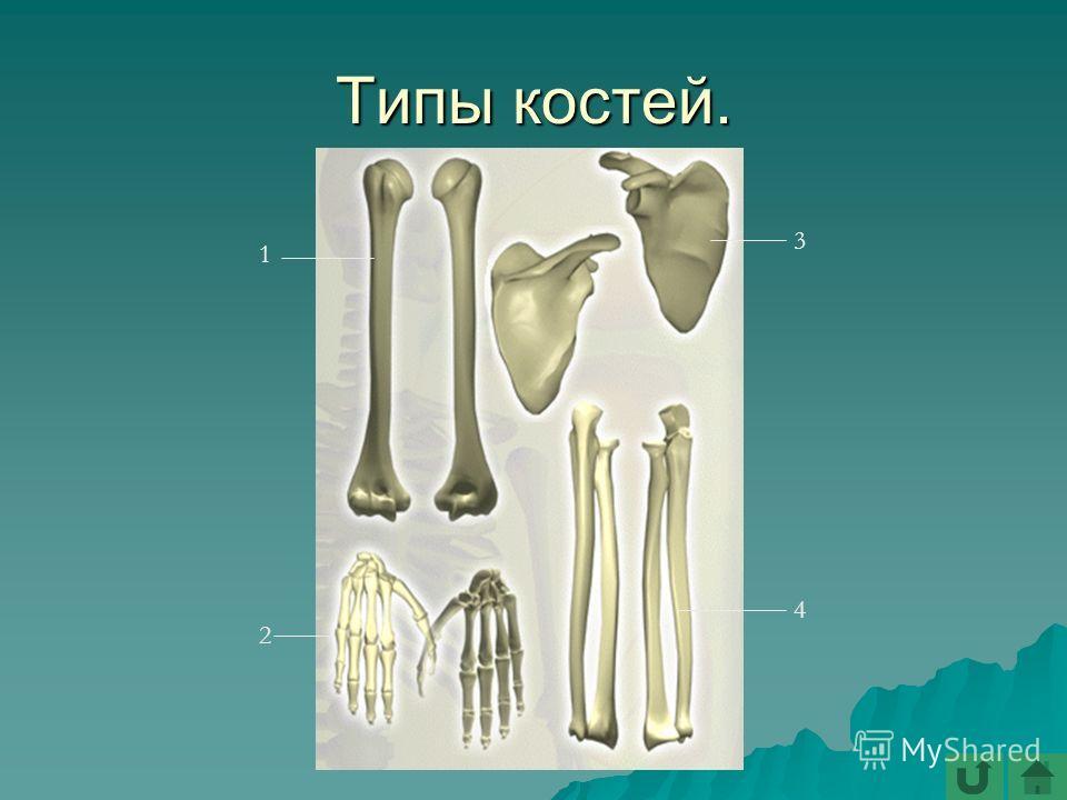 Типы костей. 1 2 3 4
