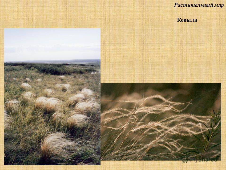 Растительный мир Ковыли