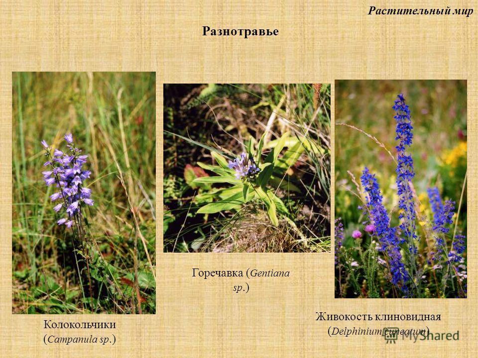 Растительный мир Разнотравье Колокольчики ( Campanula sp.) Горечавка ( Gentiana sp.) Живокость клиновидная ( Delphinium cuneatum )