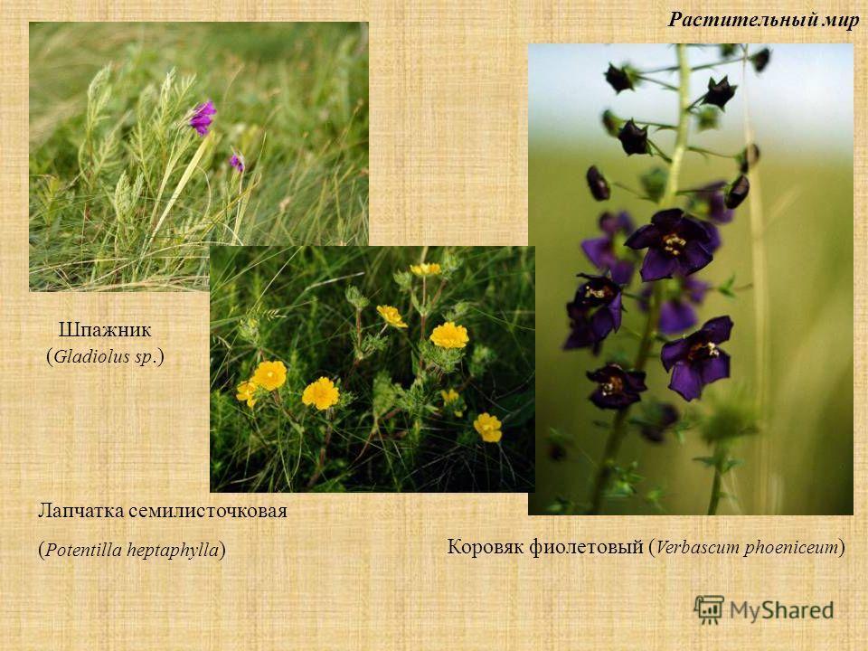 Растительный мир Шпажник ( Gladiolus sp.) Лапчатка семилисточковая ( Potentilla heptaphylla ) Коровяк фиолетовый ( Verbascum phoeniceum )