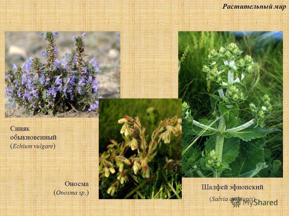 Растительный мир Шалфей эфиопский (Salvia aethiopis) Синяк обыкновенный ( Echium vulgare ) Оносма ( Onosma sp.)