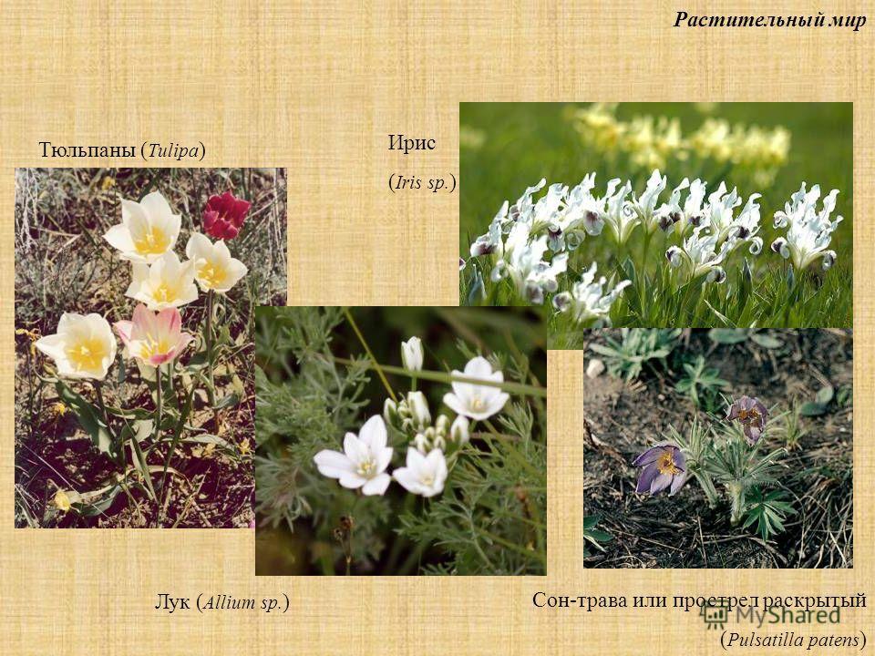 Растительный мир Тюльпаны ( Tulipa ) Ирис ( Iris sp. ) Лук ( Allium sp. ) Сон-трава или прострел раскрытый ( Pulsatilla patens )