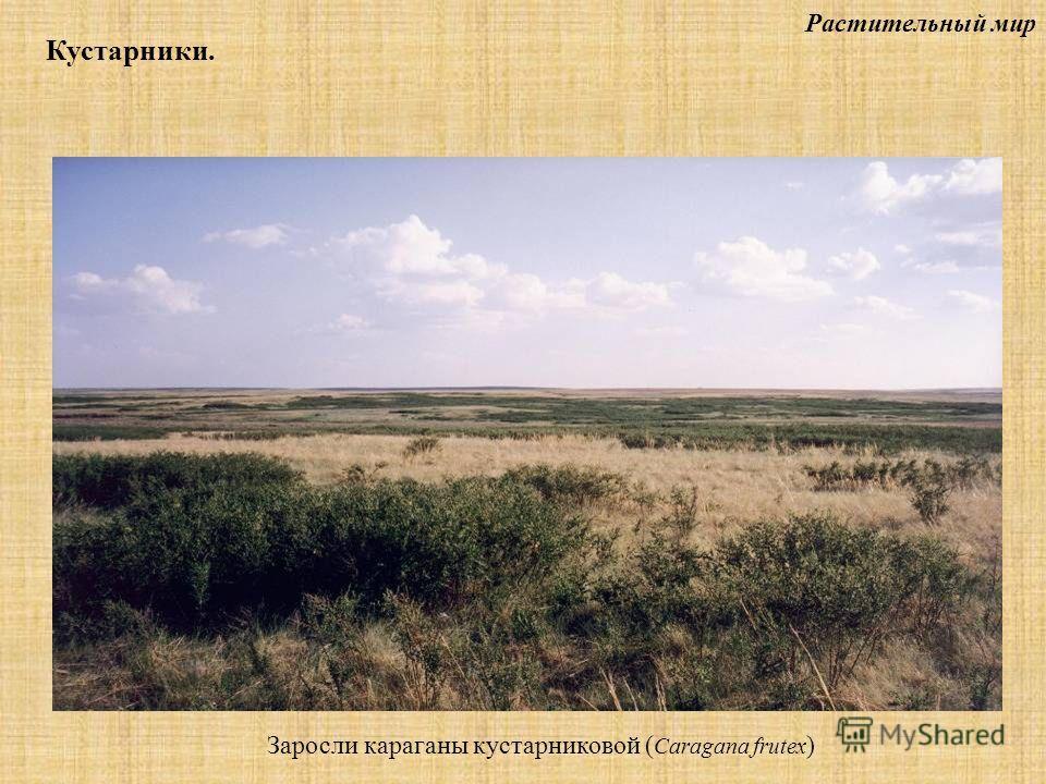 Растительный мир Кустарники. Заросли караганы кустарниковой ( Caragana frutex )