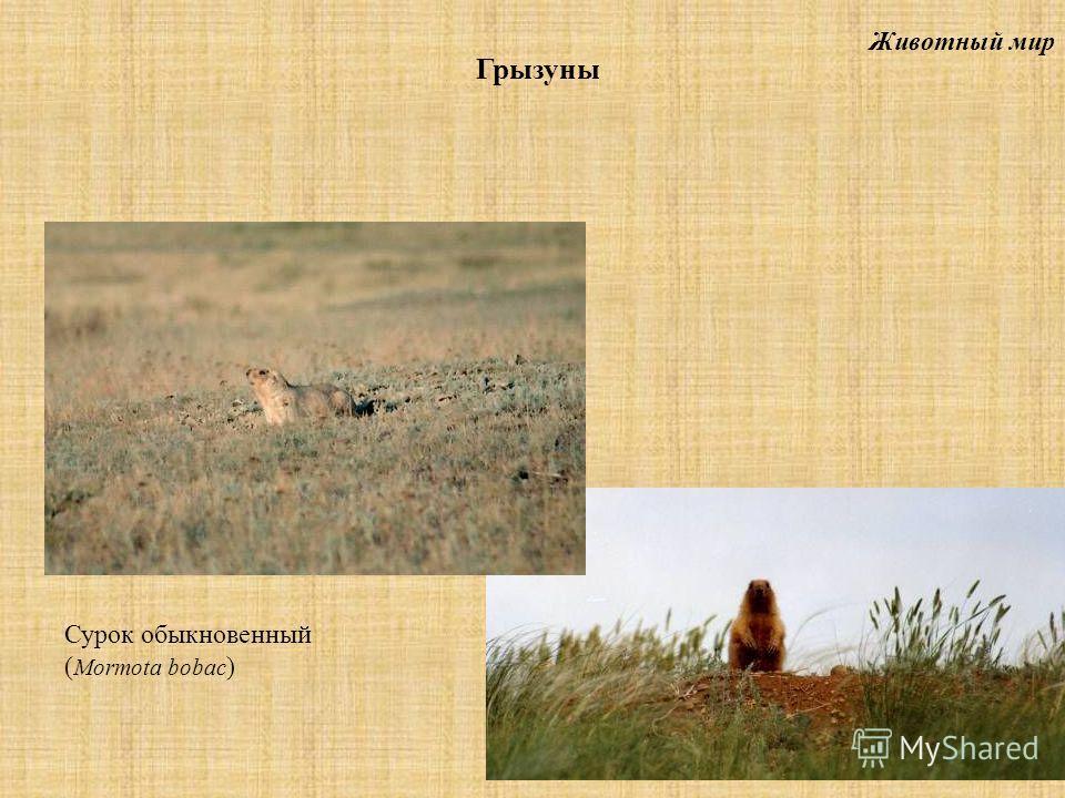 Животный мир Грызуны Сурок обыкновенный ( Mormota bobac )