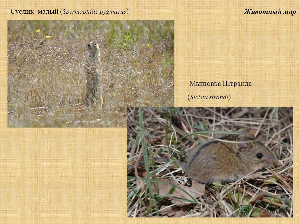 Животный мир Суслик малый ( Spermophilis pygmaeus ) Мышовка Штранда ( Sicista strandi )