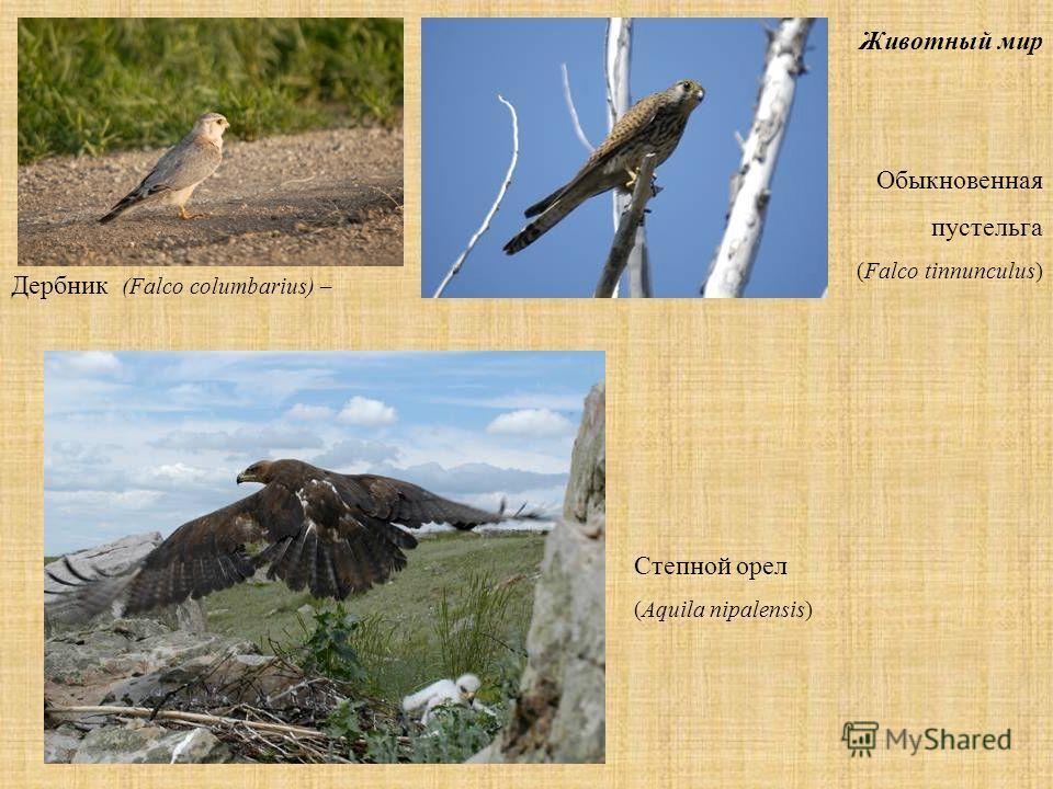 Животный мир Обыкновенная пустельга (Falco tinnunculus) Степной орел (Aquila nipalensis) Дербник (Falco columbarius) –