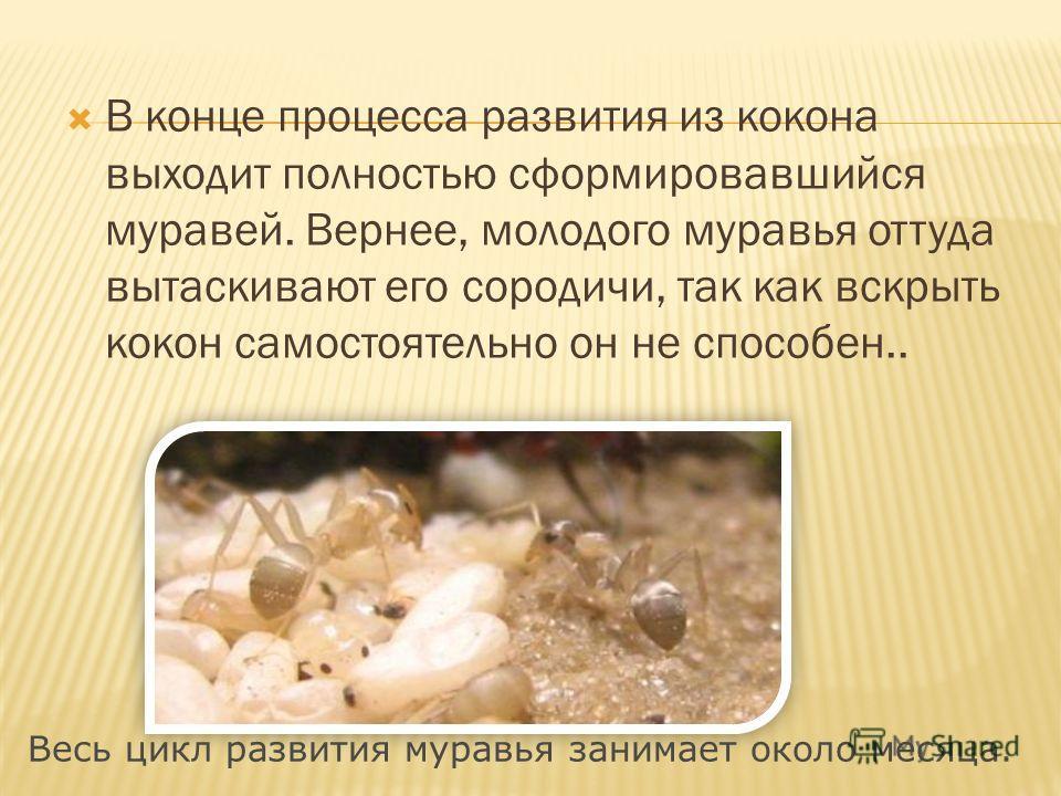 В конце процесса развития из кокона выходит полностью сформировавшийся муравей. Вернее, молодого муравья оттуда вытаскивают его сородичи, так как вскрыть кокон самостоятельно он не способен.. Весь цикл развития муравья занимает около месяца.
