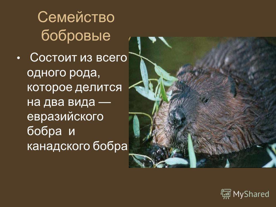 Семейство бобровые Состоит из всего одного рода, которое делится на два вида евразийского бобра и канадского бобра.