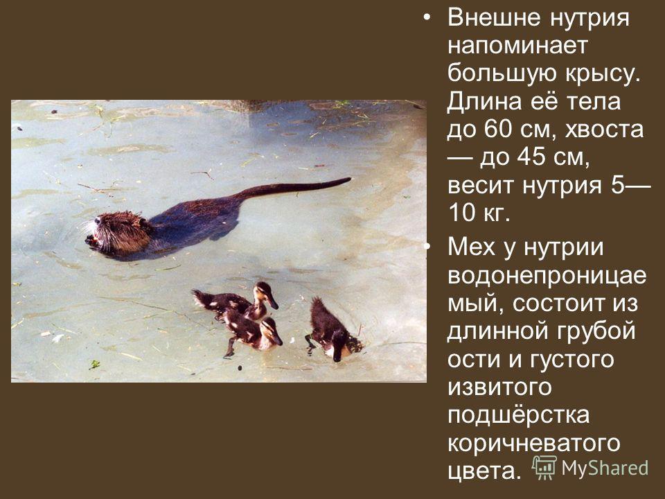 Внешне нутрия напоминает большую крысу. Длина её тела до 60 см, хвоста до 45 см, весит нутрия 5 10 кг. Мех у нутрии водонепроницае мый, состоит из длинной грубой ости и густого извитого подшёрстка коричневатого цвета.