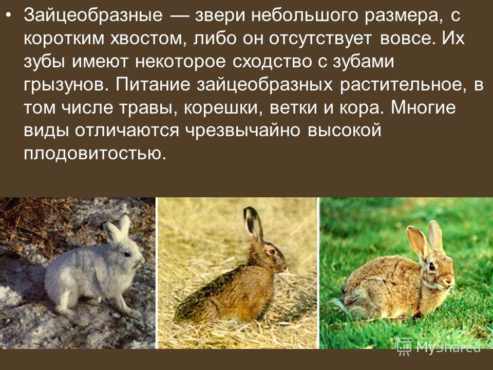 Зайцеобразные звери небольшого размера, с коротким хвостом, либо он отсутствует вовсе. Их зубы имеют некоторое сходство с зубами грызунов. Питание зайцеобразных растительное, в том числе травы, корешки, ветки и кора. Многие виды отличаются чрезвычайн