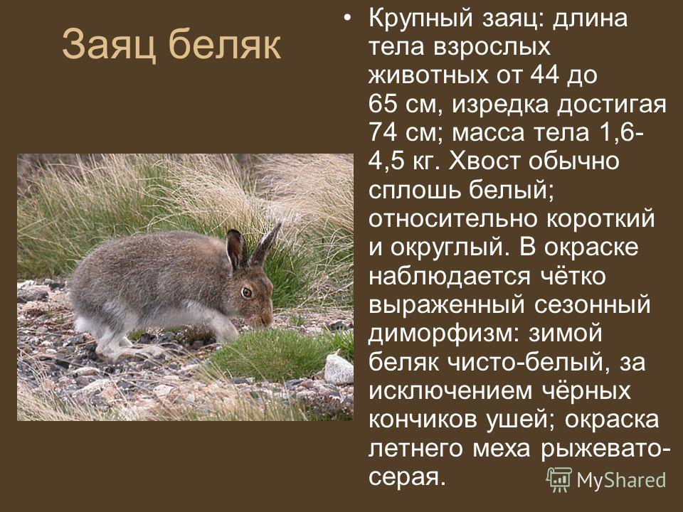 Заяц беляк Крупный заяц: длина тела взрослых животных от 44 до 65 см, изредка достигая 74 см; масса тела 1,6- 4,5 кг. Хвост обычно сплошь белый; относительно короткий и округлый. В окраске наблюдается чётко выраженный сезонный диморфизм: зимой беляк