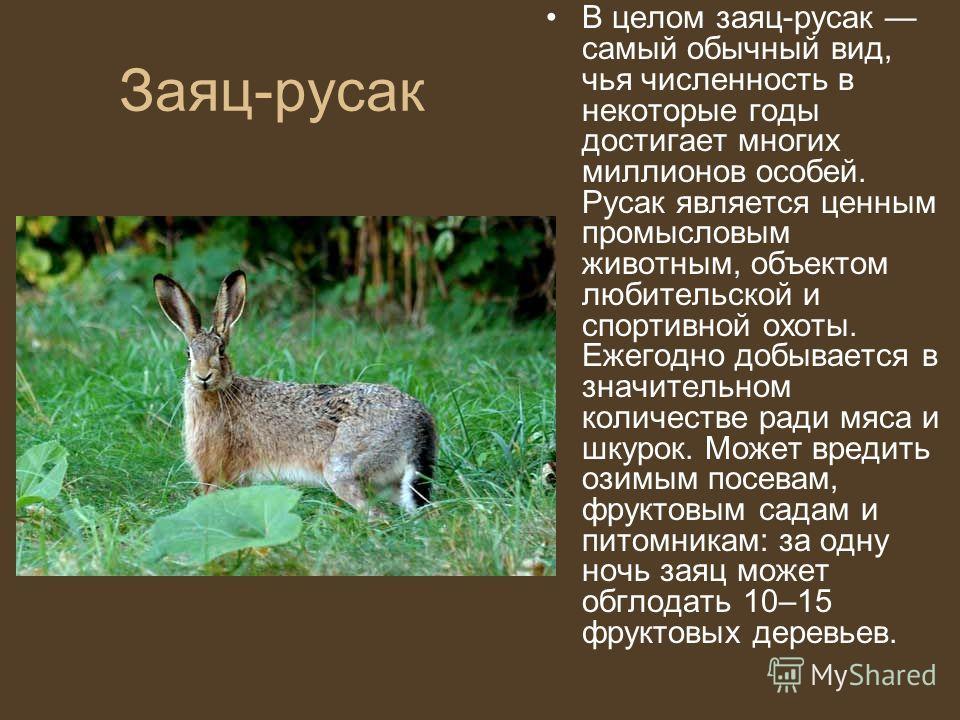 Заяц-русак В целом заяц-русак самый обычный вид, чья численность в некоторые годы достигает многих миллионов особей. Русак является ценным промысловым животным, объектом любительской и спортивной охоты. Ежегодно добывается в значительном количестве р