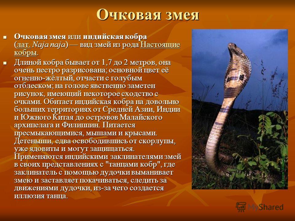 Очковая змея Очковая змея или индийская кобра (лат. Naja naja) вид змей из рода Настоящие кобры. Очковая змея или индийская кобра (лат. Naja naja) вид змей из рода Настоящие кобры.лат.Настоящие кобрылат.Настоящие кобры Длиной кобра бывает от 1,7 до 2