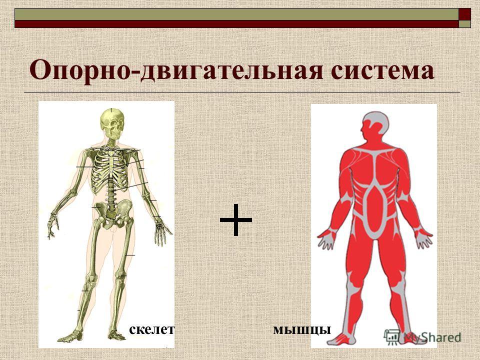 Опорно-двигательная система скелетмышцы