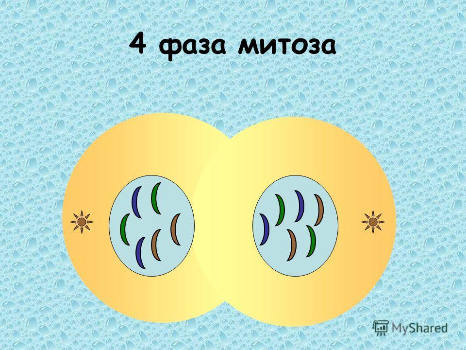 4 фаза митоза