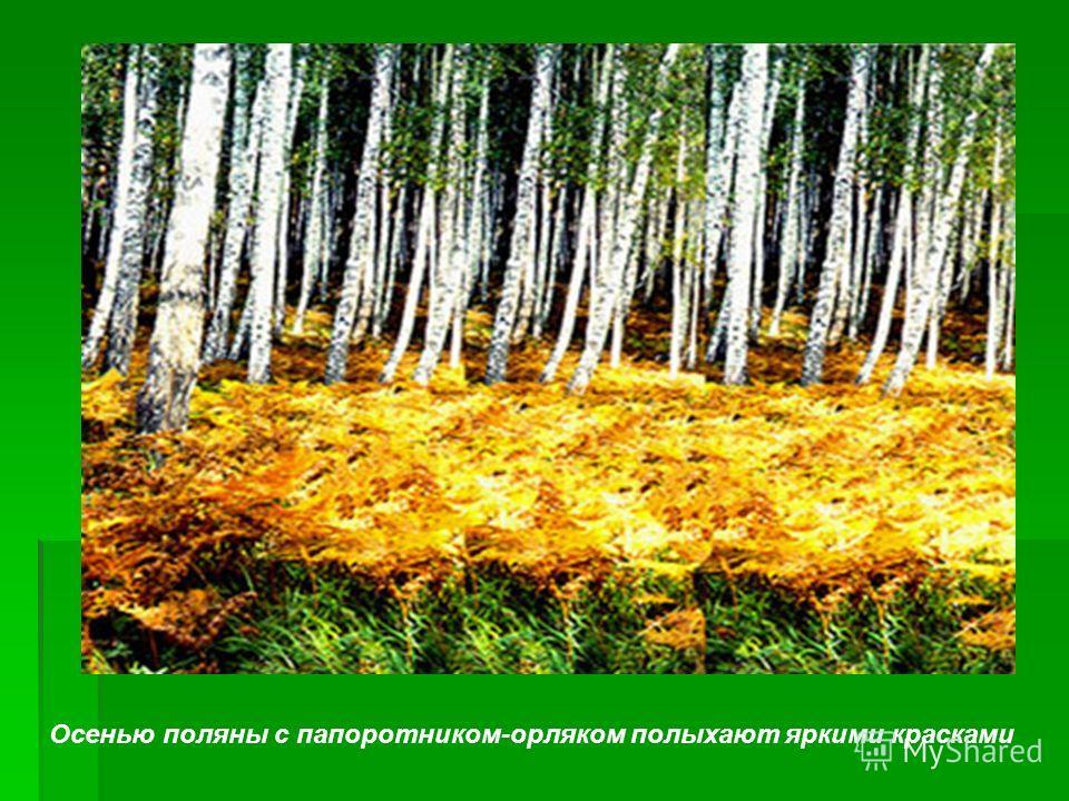 Осенью поляны с папоротником-орляком полыхают яркими красками