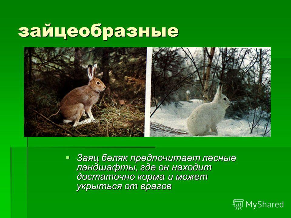 зайцеобразные Заяц беляк предпочитает лесные ландшафты, где он находит достаточно корма и может укрыться от врагов Заяц беляк предпочитает лесные ландшафты, где он находит достаточно корма и может укрыться от врагов