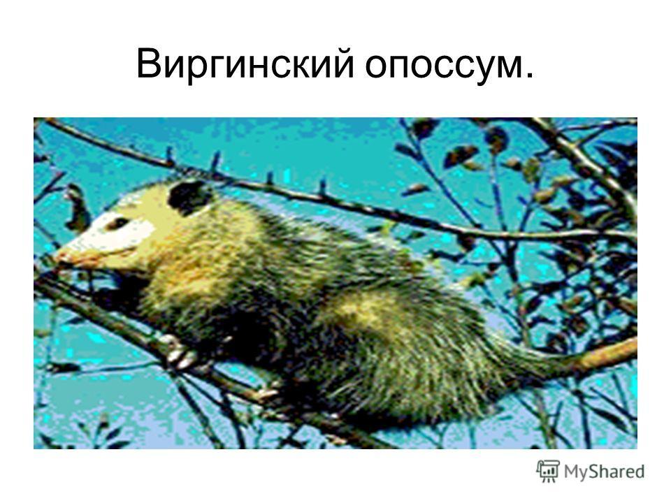 Виргинский опоссум.