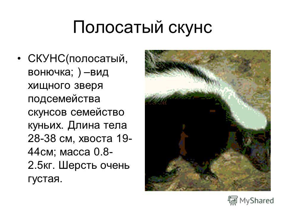 Полосатый скунс СКУНС(полосатый, вонючка; ) –вид хищного зверя подсемейства скунсов семейство куньих. Длина тела 28-38 см, хвоста 19- 44см; масса 0.8- 2.5кг. Шерсть очень густая.
