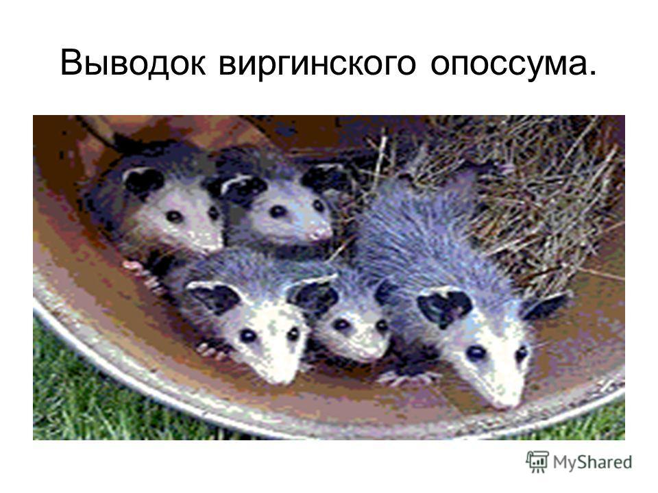 Выводок виргинского опоссума.