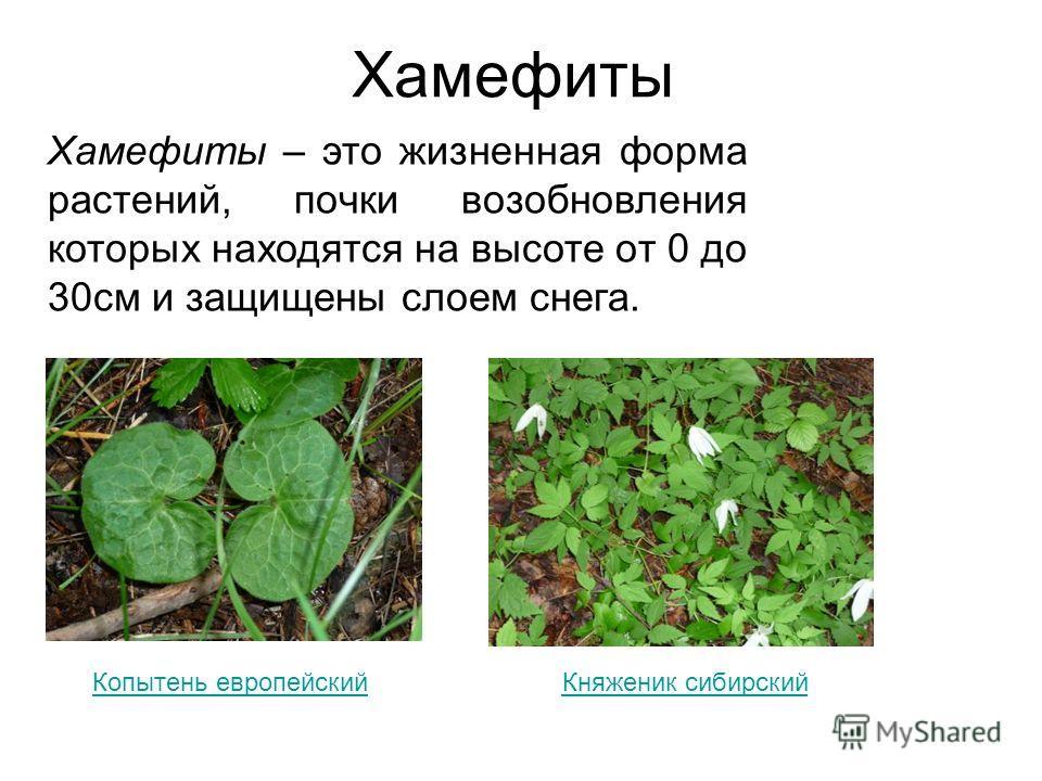 Хамефиты Хамефиты – это жизненная форма растений, почки возобновления которых находятся на высоте от 0 до 30см и защищены слоем снега. Копытень европейскийКняженик сибирский