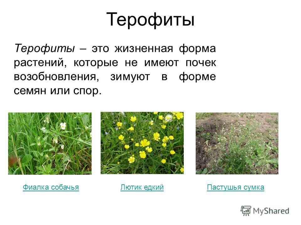 Терофиты Терофиты – это жизненная форма растений, которые не имеют почек возобновления, зимуют в форме семян или спор. Фиалка собачьяЛютик едкийПастушья сумка