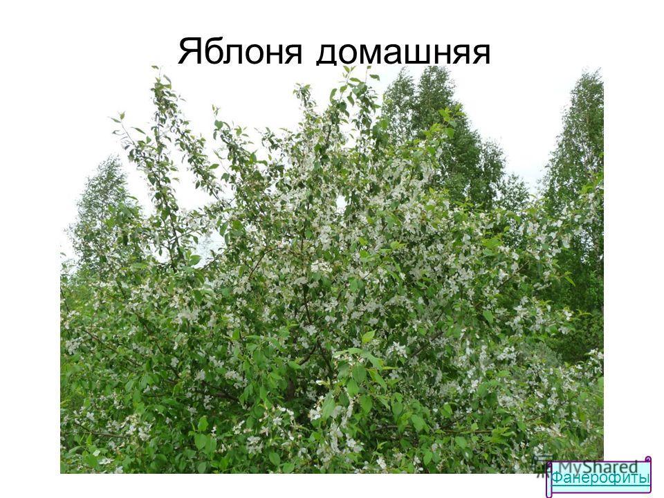 Яблоня домашняя Фанерофиты