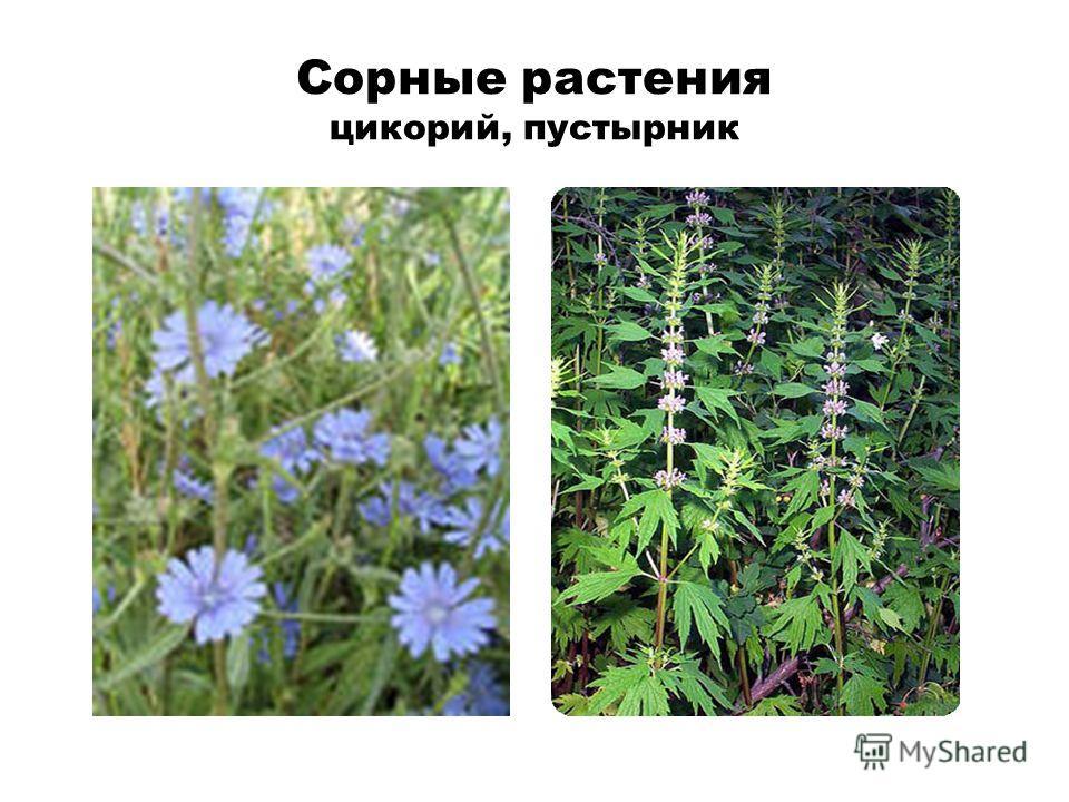 Сорные растения цикорий, пустырник