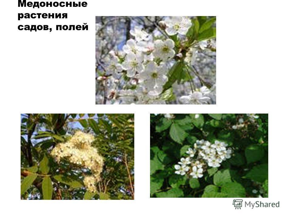 Медоносные растения садов, полей