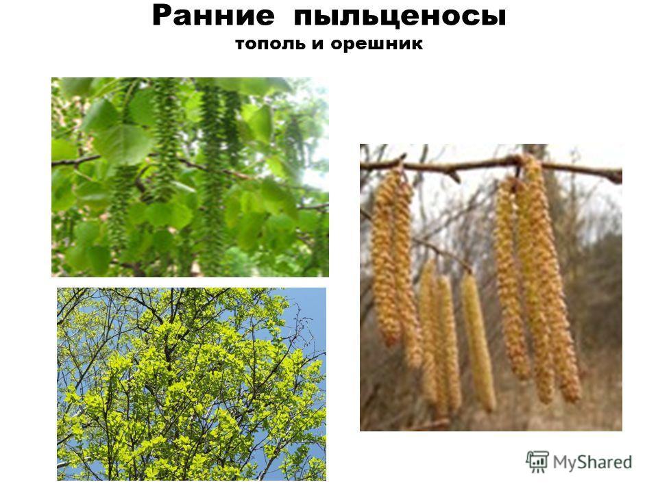 Ранние пыльценосы тополь и орешник