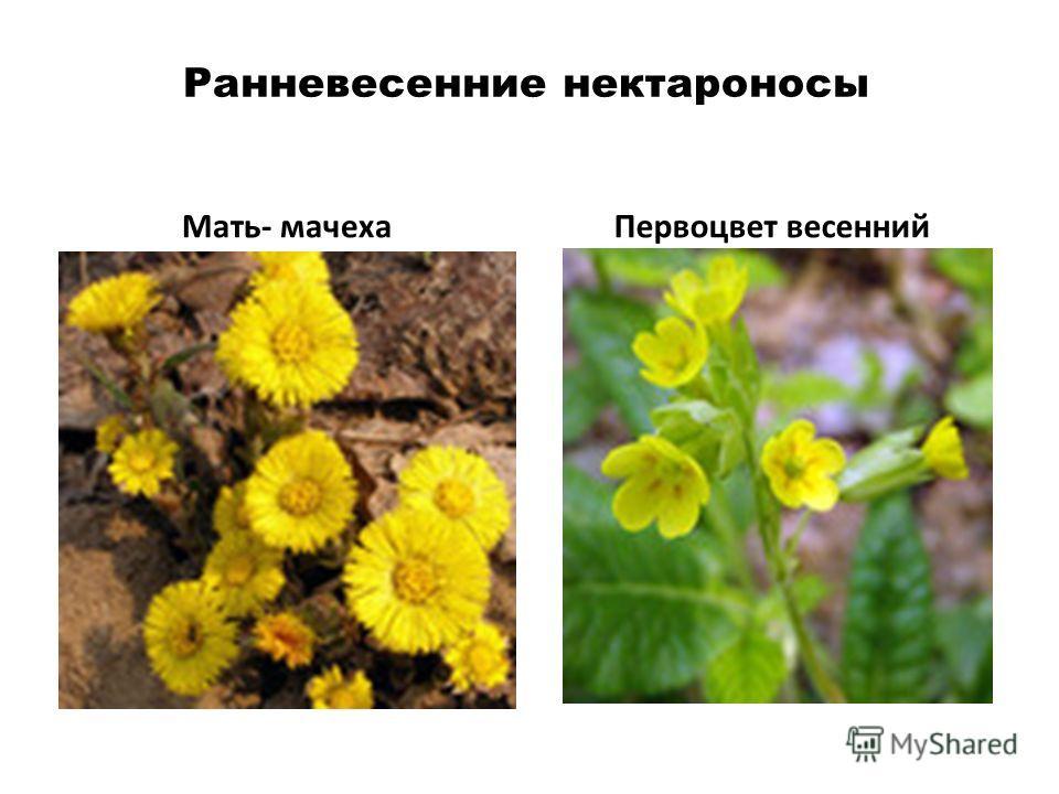 Ранневесенние нектароносы Мать- мачехаПервоцвет весенний