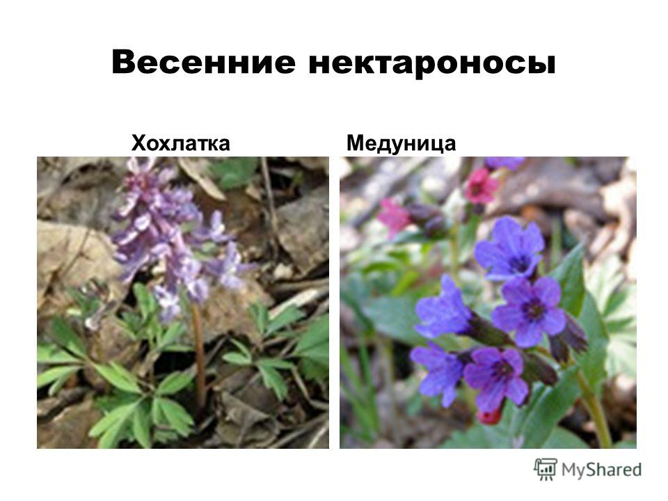 Весенние нектароносы ХохлаткаМедуница