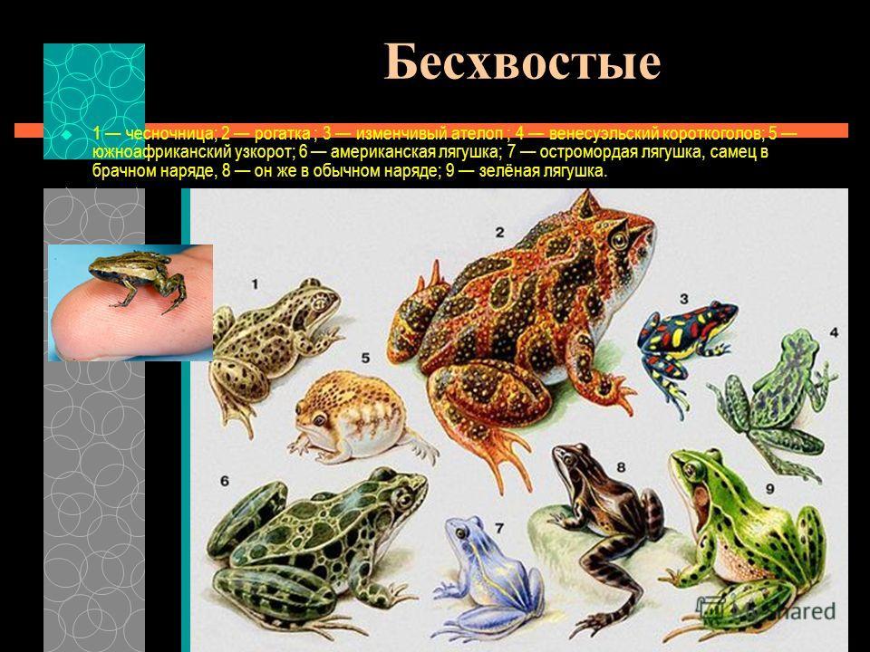 Бесхвостые 1 чесночница; 2 рогатка ; 3 изменчивый ателоп ; 4 венесуэльский короткоголов; 5 южноафриканский узкорот; 6 американская лягушка; 7 остромордая лягушка, самец в брачном наряде, 8 он же в обычном наряде; 9 зелёная лягушка.