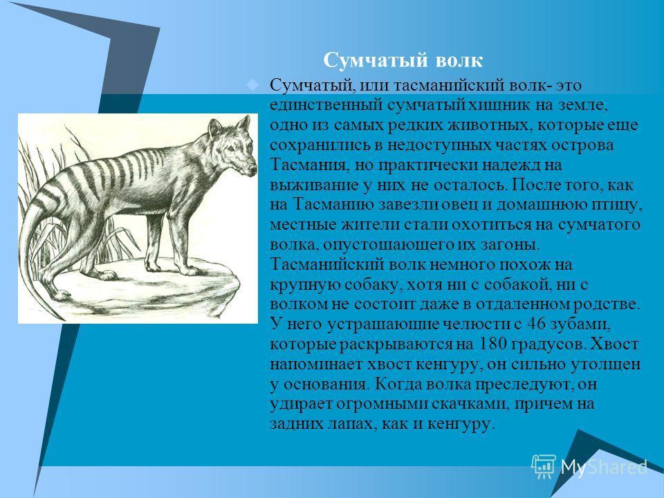 Сумчатый волк Сумчатый, или тасманийский волк- это единственный сумчатый хищник на земле, одно из самых редких животных, которые еще сохранились в недоступных частях острова Тасмания, но практически надежд на выживание у них не осталось. После того,