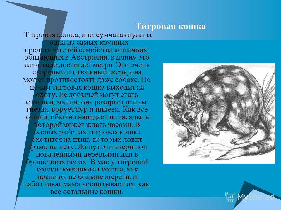 Тигровая кошка Тигровая кошка, или сумчатая куница - одна из самых крупных представителей семейства кошачьих, обитающих в Австралии, в длину это животное достигает метра. Это очень свирепый и отважный зверь, она может противостоять даже собаке. По но