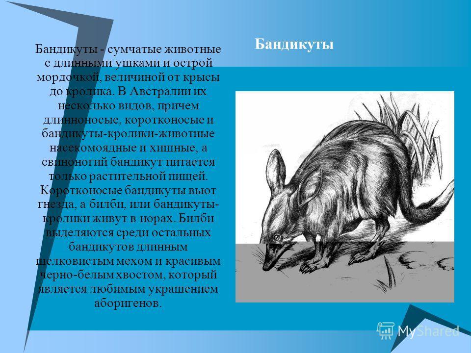 Бандикуты Бандикуты - сумчатые животные с длинными ушками и острой мордочкой, величиной от крысы до кролика. В Австралии их несколько видов, причем длинноносые, коротконосые и бандикуты-кролики-животные насекомоядные и хищные, а свиноногий бандикут п